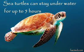 sea turtle facts 60 unknown facts about sea turtles