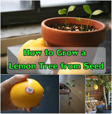 how to grow a lemon tree from seed lemon gardens and plants