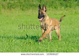 belgian shepherd standard malinois dog puppy belgian shepherd stock photo 103606127