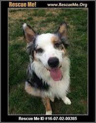 australian shepherd club qld north carolina australian shepherd rescue u2015 adoptions u2015 rescueme org