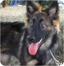 belgian sheepdog and cats farrah fawcett adopted puppy new puppy dripping springs tx