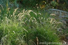 pennisetum tails knoll gardens ornamental grasses and