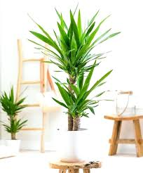 various toxic house plants toxic houseplants yucca yucca palm