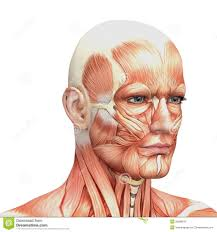 Human Anatomy Diagram Download Parts Of The Face Diagram Parts Of The Face Anatomy Human