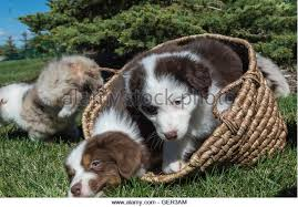 australian shepherd 4 weeks old australian shepherd puppies black tri blue merle stock photos