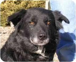 australian shepherd border collie patty adopted dog greeley co border collie australian
