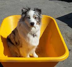 australian shepherd lovers 1907 best aussies images on pinterest aussies aussie dogs and