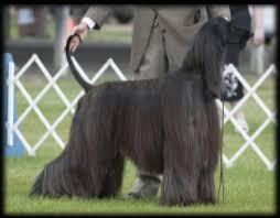 afghan hound judith light dog show 2011 06 26