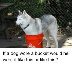 Meme Bucket - if a dog wore a bucket would he wear it like this or like this