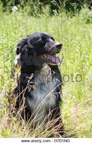 australian shepherd in apartment an australian shepherd rests stock photo royalty free image