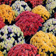 Flower Seeds Online - compare prices on aster flowers seeds online shopping buy low