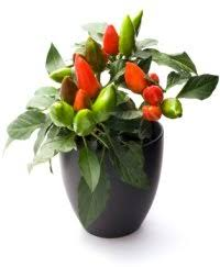 ornamental pepper plant care capsicum annuum