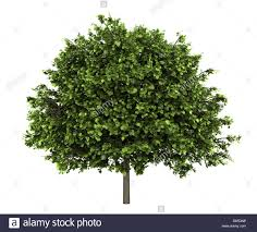small leaved lime tree isolated on white stock photo royalty free