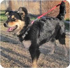 australian shepherd weiner dog mix lisa adopted dog alamogordo nm australian shepherd german