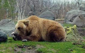 most viewed eastern brown bear wallpapers 4k wallpapers