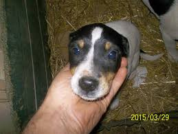 bluetick coonhound breeders ohio dogs ready for adoption alabama angels dog rescue
