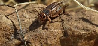 why do crickets chirp terminix