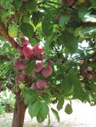 Planting Fruit Trees In Backyard Giving Trees How To Grow Fruit In Your Backyard Edible San Diego