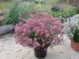 native garden plants kangaroo paw bush pearl best australian native plants for pots and