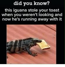 Lizard Toast Meme - did you know this iguana stole your toast when you weren t