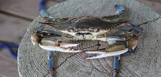 the art of eating blue crabs on chesapeake bay cort