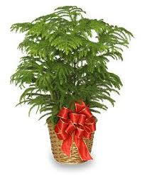 christmas plant 439 best plants images on gardening christmas
