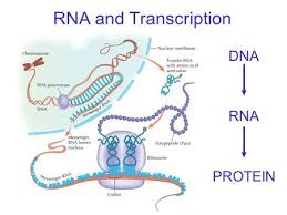 dna structure replication functions stores and provides copies of