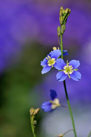 Blue Flowers - 367 best blue flowers images on pinterest blue flowers flowers