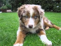 australian shepherd double merle australian shepherd red merle picture collection and ideas dogs