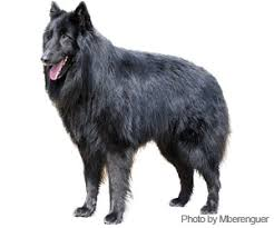 what is a belgian sheepdog pet grooming products u0026 tips wahlpets com care for my dog