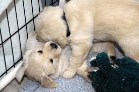 Comfort Retrievers Finding Comfort In Training Service Dogs For Other Wounded Vets