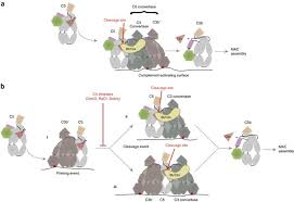 Structural basis for therapeutic inhibition of plement C5