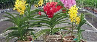 vanda orchids vanda orchids san fernando valley orchid society
