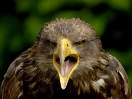 strange eagle wallpapers bird of prey pictures national geographic