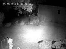 raccoon creeping my backyard at night youtube