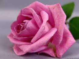coca cola upc code for halloween horror nights 2016 desktop wallpapers flowers backgrounds pink rose