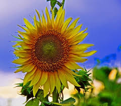 single sun flower wallpapers single sunflower flower wallpaper sunflower photo background