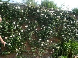 pruning climbing roses u2013 paul zimmerman roses