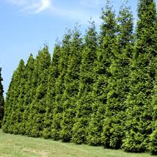 buy trees best selling trees for sale fast growing trees