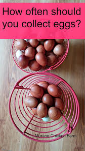 how often should you collect eggs them chicken eggs and an