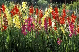 gladiolus flowers how to grow gladiolus flowers