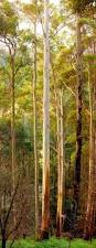 the manna gum eucalyptus viminalis ranked 3 the tallest is in