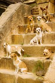 te chichi a nation of chihuahua dogs living in the lost city of techichi