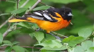 baltimore oriole u2013 indiana audubon society