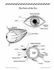 the parts of the eye teachervision