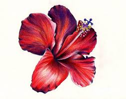 colored pencil drawing of flower google search colored pencils