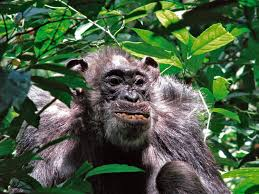 study uganda u0027s ngogo chimpanzees have surprisingly long life
