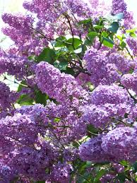 may 2011 under the lilac trees
