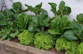 ten of the best vegetables for beginners otago daily times