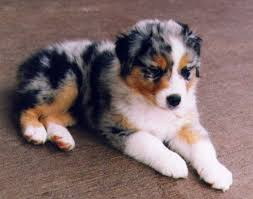 australian shepherd with german shepherd 102 best australian shepherds images on pinterest aussies